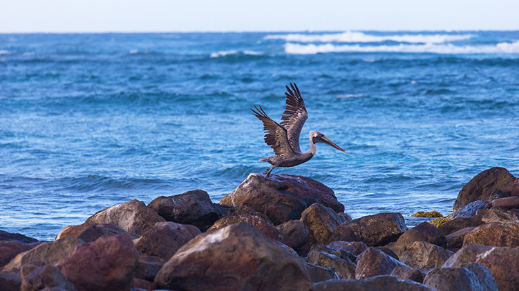 pelican spreading its wings while standing on rocks